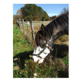 Painted Horse, Eating Queen Ann Lace flower Postcard