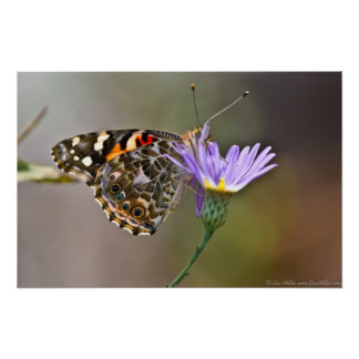 Painted Lady Butterfly on Aster II Poster