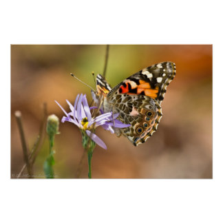 Painted Lady Butterfly on Aster Poster
