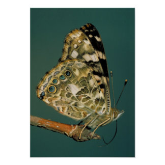 Painted Lady Butterfly Wings Poster