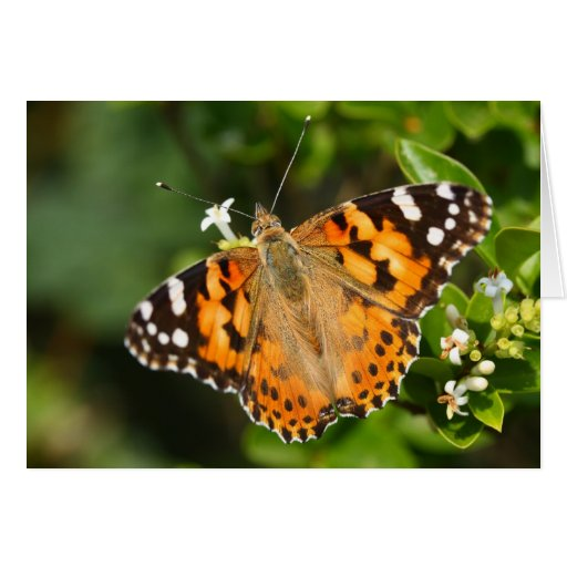 painted lady over the hedge card