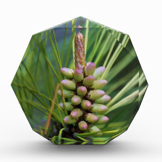 Painted Ponderosa Pine New Growth Award