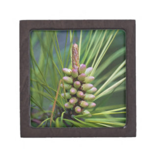Painted Ponderosa Pine New Growth Jewelry Box