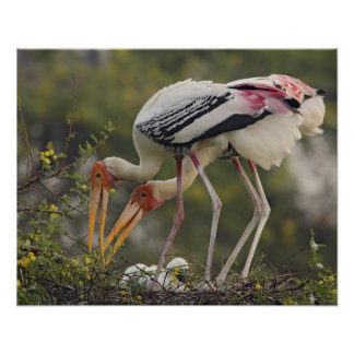 Painted Storks & youn one at nest,Keoladeo Poster