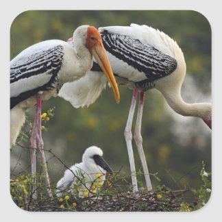 Painted Storks young one at nest Keoladeo Square Sticker