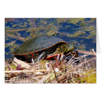 Painted Turtle (Chrysemys picta) 3 Card