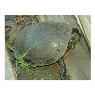 Painted Turtle (Chrysemys picta) Postcard