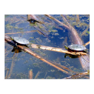 Painted Turtles (Chrysemys picta) Postcard