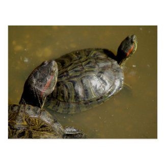 Painted Turtles Postcard