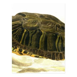 Painting of Trachemys scripta elegans (Wied) Postcard