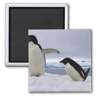 Pair Adelie penguins Antarctica Magnet