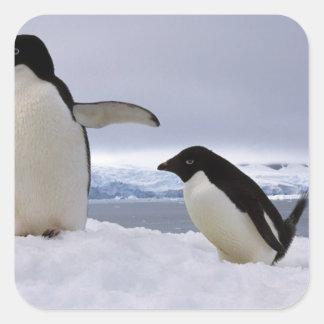 Pair Adelie penguins Antarctica Square Sticker