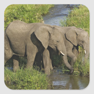 Pair of African Elephants feeding, Masai Mara, Square Sticker