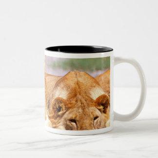 Pair of African Lions Panthera leo Tanzania Coffee Mugs