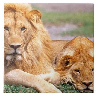 Pair of African Lions, Panthera leo, Tanzania Large Square Tile