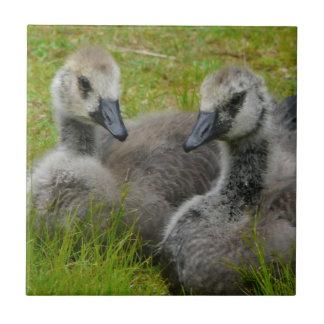 Pair of Baby Canadian Geese Goslings tile