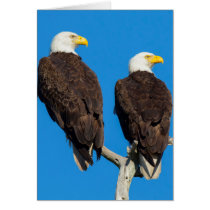 Pair of Bald eagles, Haliaeetus Leucocephalus