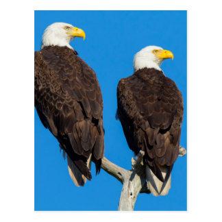 Pair of Bald eagles, Haliaeetus Leucocephalus Postcard