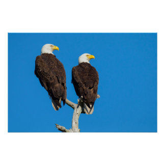 Pair of Bald eagles, Haliaeetus Leucocephalus Poster