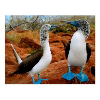 Pair of Blue-footed Boobies Postcard