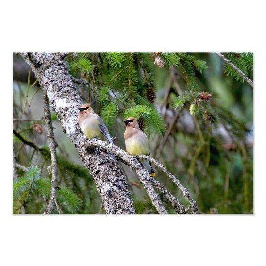 Pair of Cedar Waxwings Photo Print