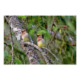 Pair of Cedar Waxwings Photo Art