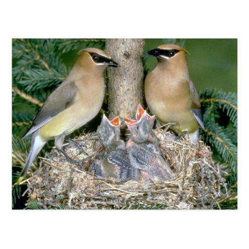 Pair of Cedar Waxwings with young Post Card