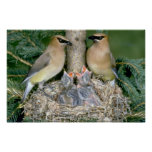 Pair of Cedar Waxwings with young Posters