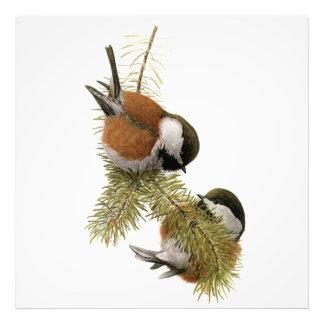 Pair of Chestnut-backed Chickadee on Pine Tree Photo Print