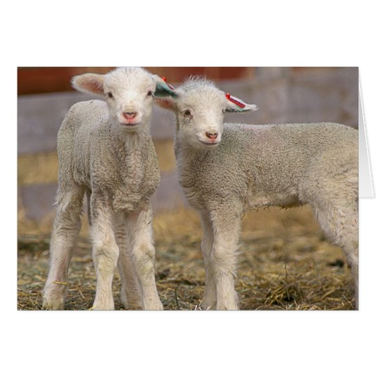 Pair of commercial Targhee Lambs Card