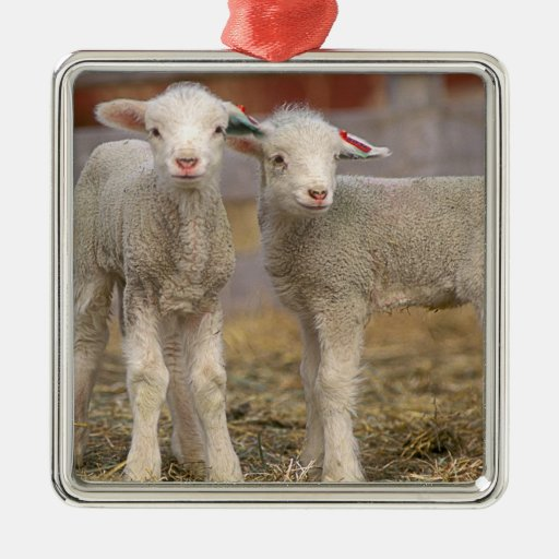 Pair of commercial Targhee Lambs Square Metal Christmas Ornament