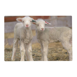 Pair of commercial Targhee Lambs Placemat