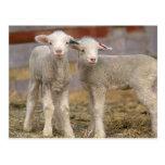 Pair of commercial Targhee Lambs Postcard