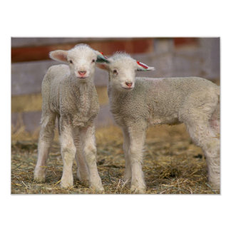 Pair of commercial Targhee Lambs Poster