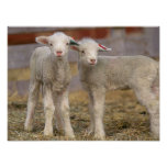 Pair of commercial Targhee Lambs Posters