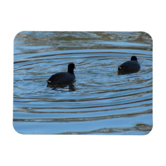 Pair of Coots Swimming on Lake Vinyl Magnets