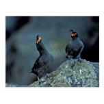 Pair of crested auklets on Kiska Island Post Card