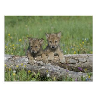 Pair of Cute Wolf Cubs Poster