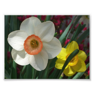 Pair of Daffodils Pink and Yellow Flowers Photo Print