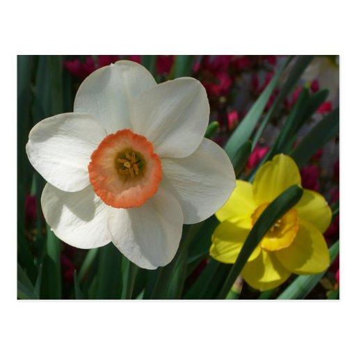 Pair of Daffodils Postcard