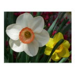 Pair of Daffodils Spring Nature Postcard