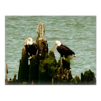 Pair of Eagles Postcard