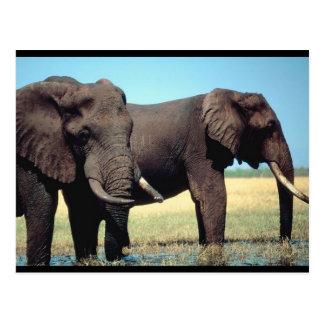 Pair of Elephants Postcard