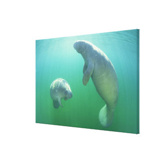 Pair of florida manatees swimming canvas print