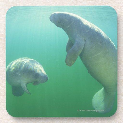 Pair of florida manatees swimming drink coasters