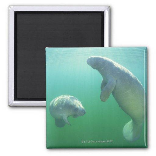 Pair of florida manatees swimming fridge magnets