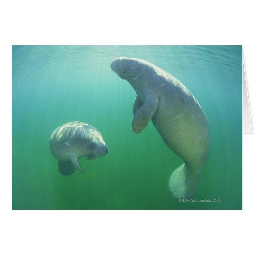 Pair of florida manatees swimming greeting cards