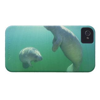 Pair of florida manatees swimming iPhone 4 case