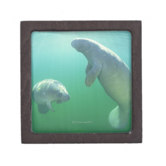 Pair of florida manatees swimming keepsake box