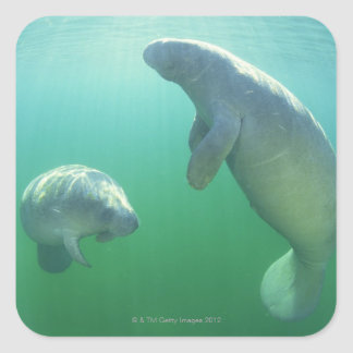 Pair of florida manatees swimming square sticker